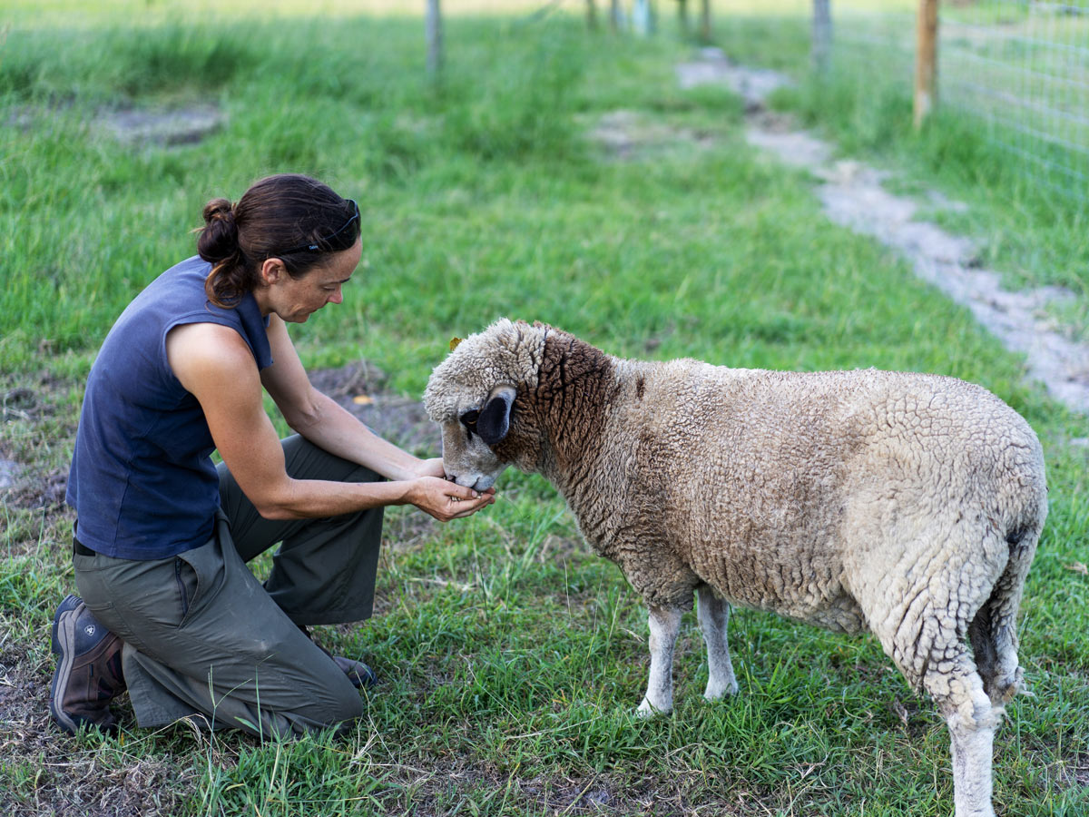 Lady hand feeding sheep on the grass